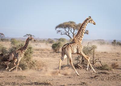 cow giraffe and calf - Amboseli - Kenya-2