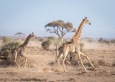 cow giraffe and calf - Amboseli - Kenya