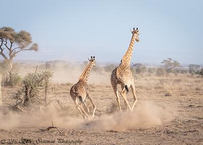 cow giraffe and calf - Amboseli - Kenya-3