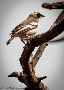chipping sparrow - Amboseli-2