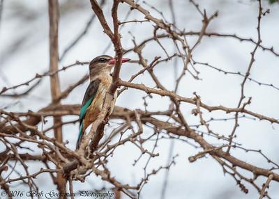 grey headed kingfisher - Amboseli-2