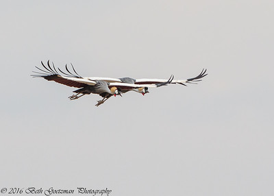 grey-crowned cranes in flight - Amboseli NP - Kenya-2