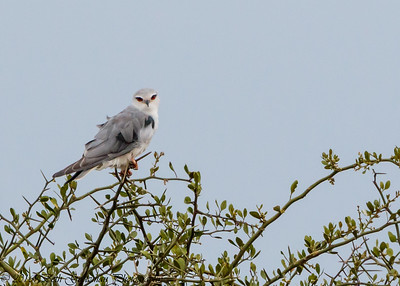 African Black-Shouldered Kite - Serengeti NP- Tanzania-3