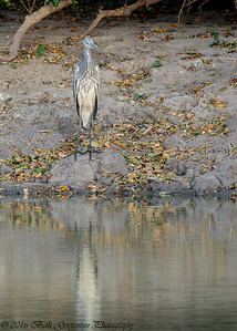 black-headed heron - Tarangere NP - Tanzania