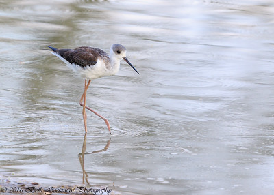 black-winged stilt - Tarangere NP - Tanzania-2
