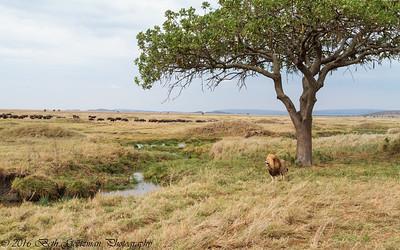 A Lion's Kingdom - Serengeti NP- Tanzania
