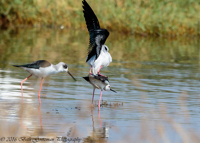 black winged stilts mating - Lake Navaisha