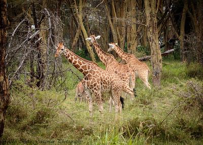 giraffe nursery - Lake Nakuru NP-2