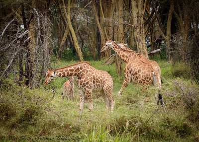 giraffe nursery - Lake Nakuru NP