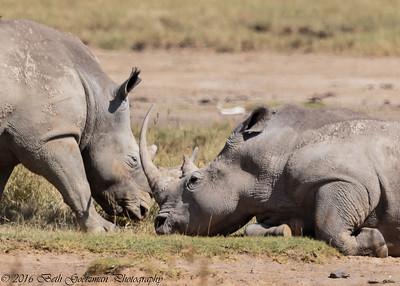 white rhino - Amboseli-6