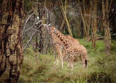 giraffe nursery - Lake Nakuru NP-3