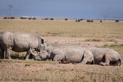white rhino - Amboseli-5