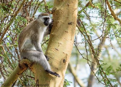 vervet monkey- Lake Nakuru-3