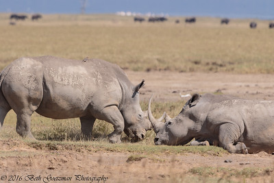 white rhino - Amboseli-2