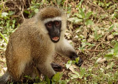 vervet monkey- Lake Nakuru-2