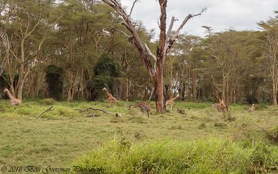 giraffe nursery- Lake Nakuru
