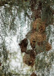 buffalo weaver nests- Lake Nakuru