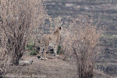cheetah and cubs-3