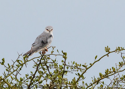 African Black-Shouldered Kite - Serengeti NP- Tanzania