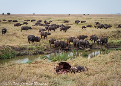 Cape Buffalo herd - Serengeti,  NP - Tanzania