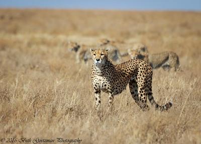 cheetah and cubs-3