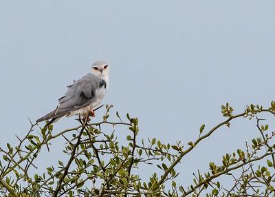 African Black-Shouldered Kite - Serengeti NP- Tanzania-3