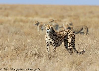 cheetah and cubs-2