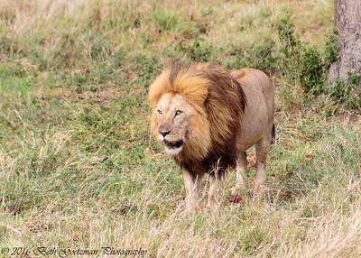 Adult male lion - Serengeti NP - Tanzania-2