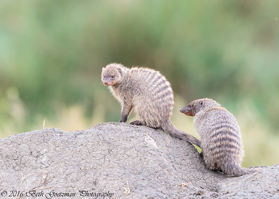 brown striped mongoose