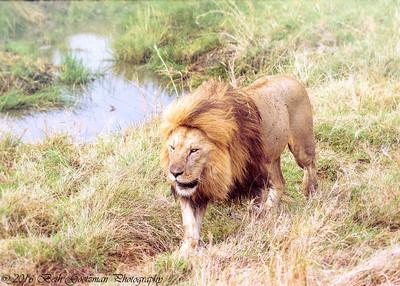 Adult male lion - Serengeti NP - Tanzania-3