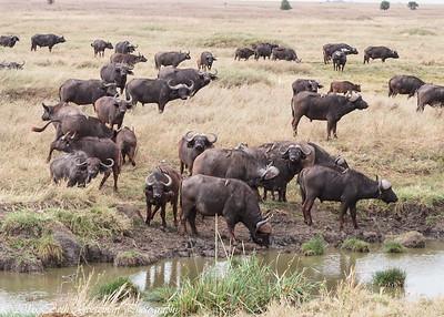 Cape Buffalo herd - Serengeti,  NP - Tanzania-2