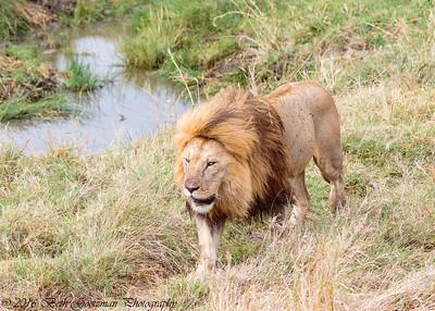 Adult male lion - Serengeti NP - Tanzania-4