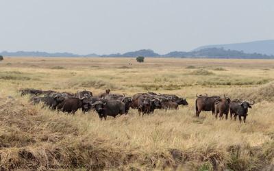Cape Buffalo Herd - Serengeti NP - Tanzania-2