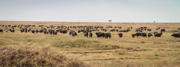 Cape Buffalo Herd - Serengeti NP - Tanzania