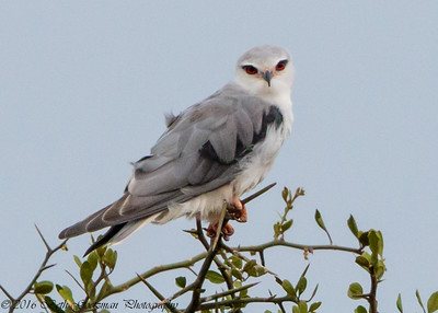 African Black-Shouldered Kite - Serengeti NP- Tanzania-2