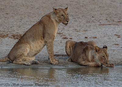 lions drinking - Taringere NP