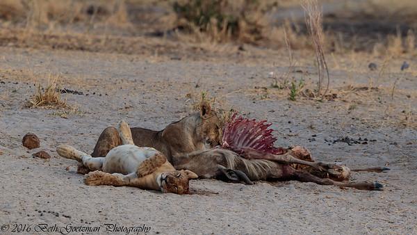lions w- kill - Taringere NP-2