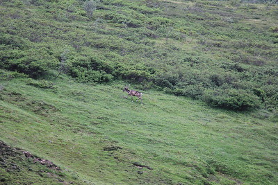 20160710-007 - Denali NP-Kantishna Roadhouse Bus Tour-Caribou