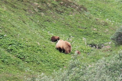 20160710-041 - Denali NP-Kantishna Roadhouse Bus Tour-Bear with Cubs-CROP