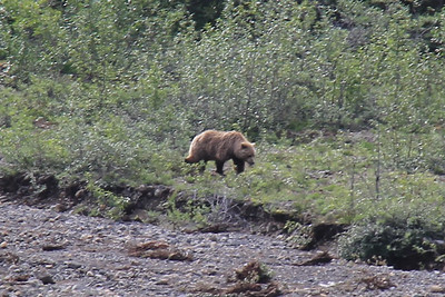 20160710-035 - Denali NP-Kantishna Roadhouse Bus Tour-Bear-CROP