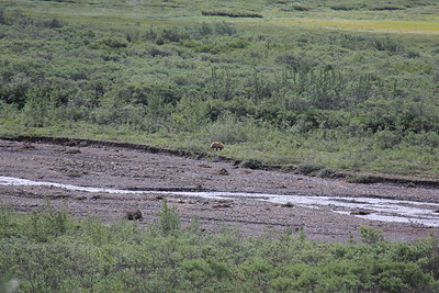 20160710-035 - Denali NP-Kantishna Roadhouse Bus Tour-Bear
