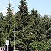 Decorated tree in Vyatskoe's main square.