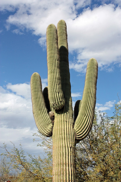 Found only in the Sonoran Desert in Arizona & Mexico, the Saguaro cactus can live as long as 200 years.