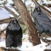Grand Canyon ravens.