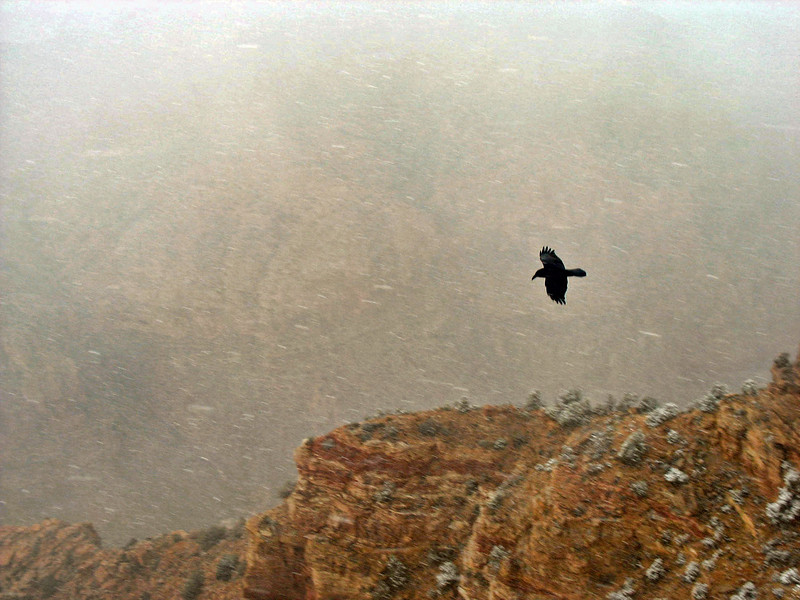 Raven flying over Grand Canyon in a blizzard.