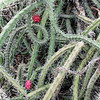 Tangled cactus in bloom.