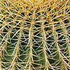 Barrel cactus spines.