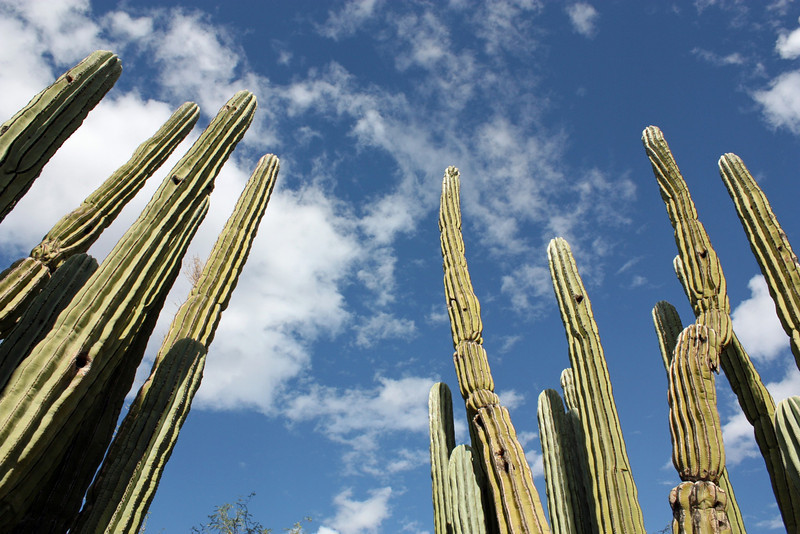 Cacti reaching towards the sky. (Sonoran Desert, AZ)