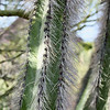 Hairy cactus close up.