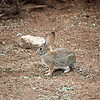 Wild bunny on the grounds of the Desert Botanical Gardens. (Phoenix)